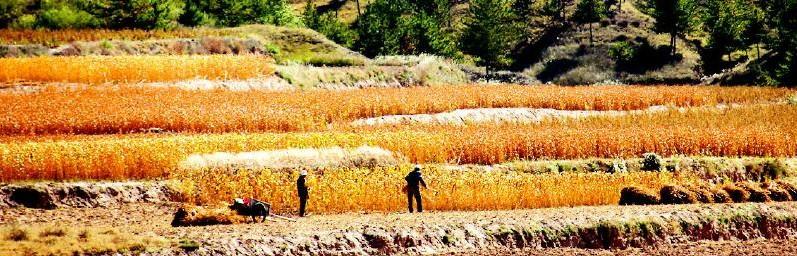 榆阳区余兴庄村民在田间收割谷子